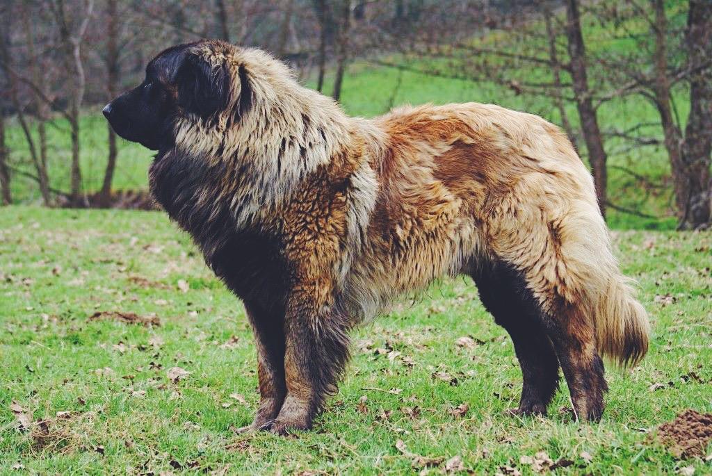 Serra da Estrela Dog breed